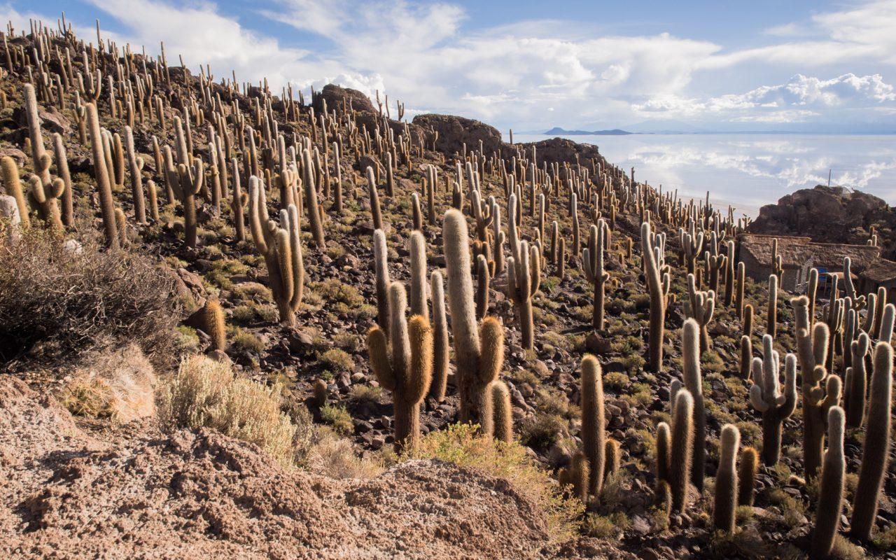 cactus bolivie-desert salar de uyuni-bolivie voyage