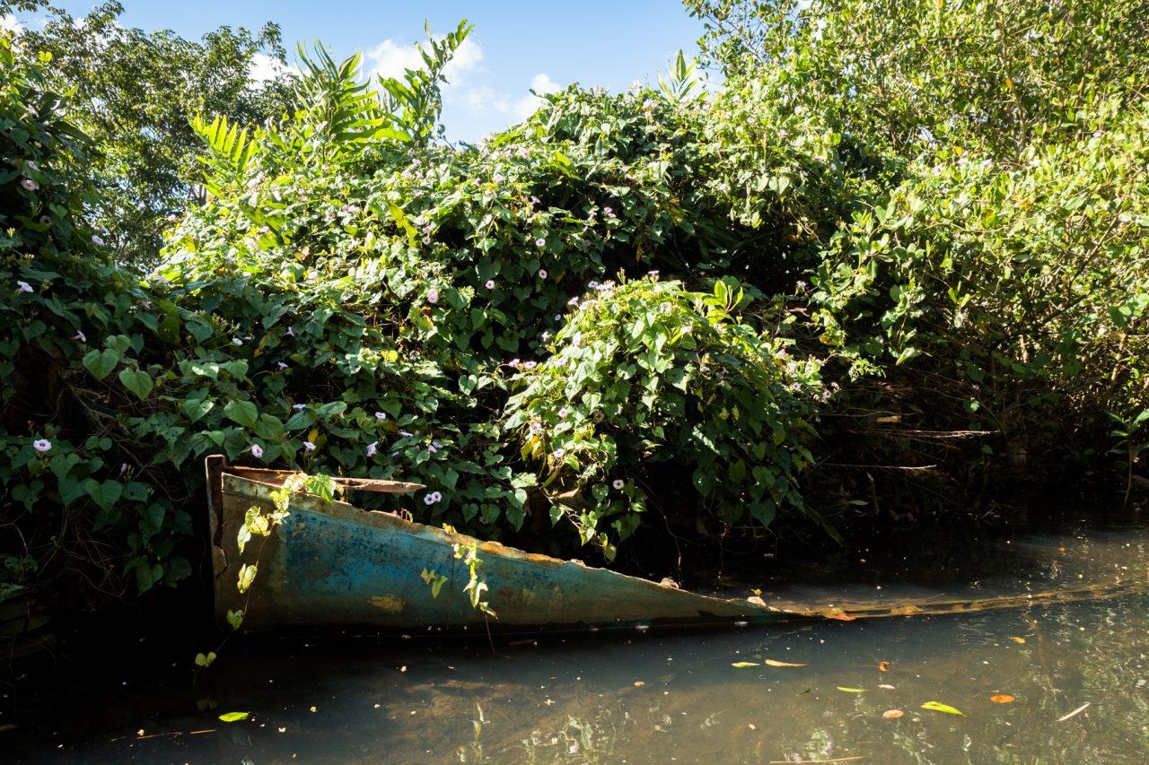 balade dans la mangrove guadeloupe-canoe mangrove guadeloupe-palétuvier mangrove