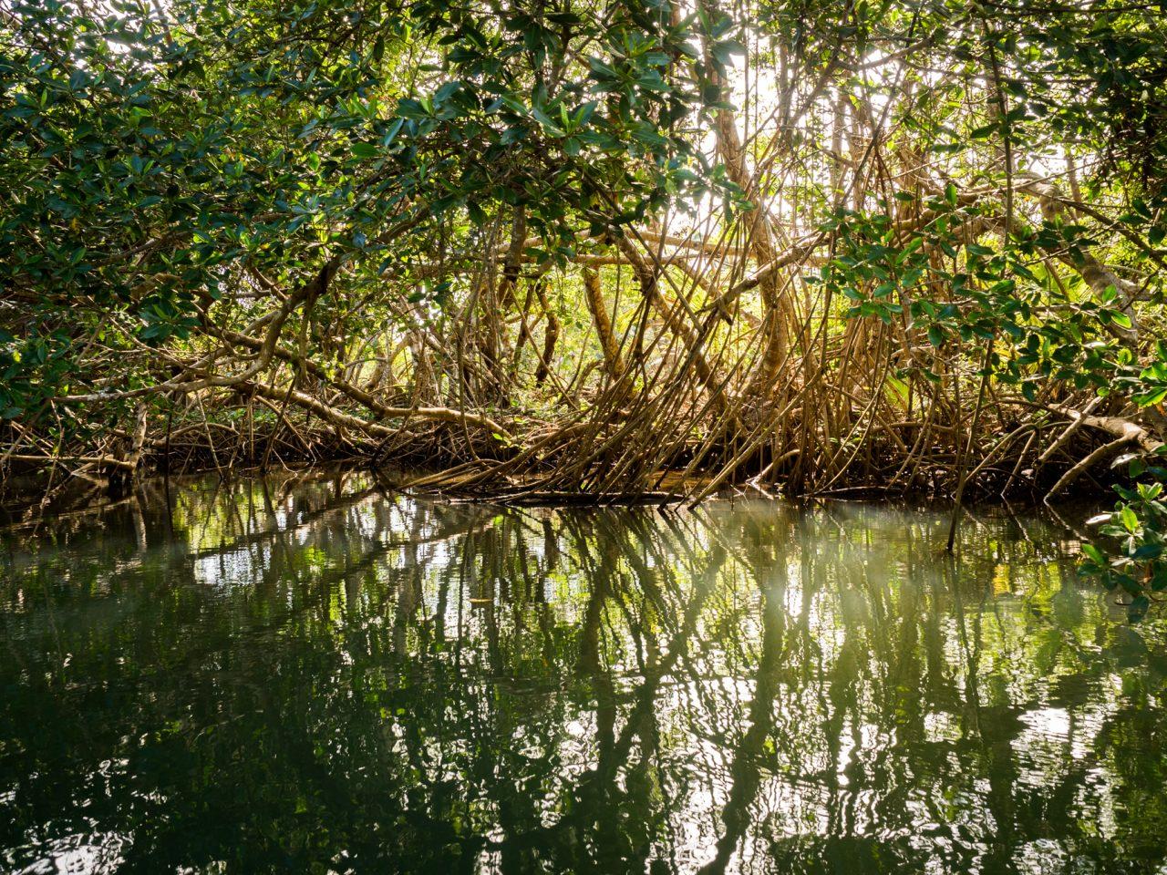 sous les palétuviers-kayak dans la mangrove guadeloupe-excursion mangrove guadeloupe