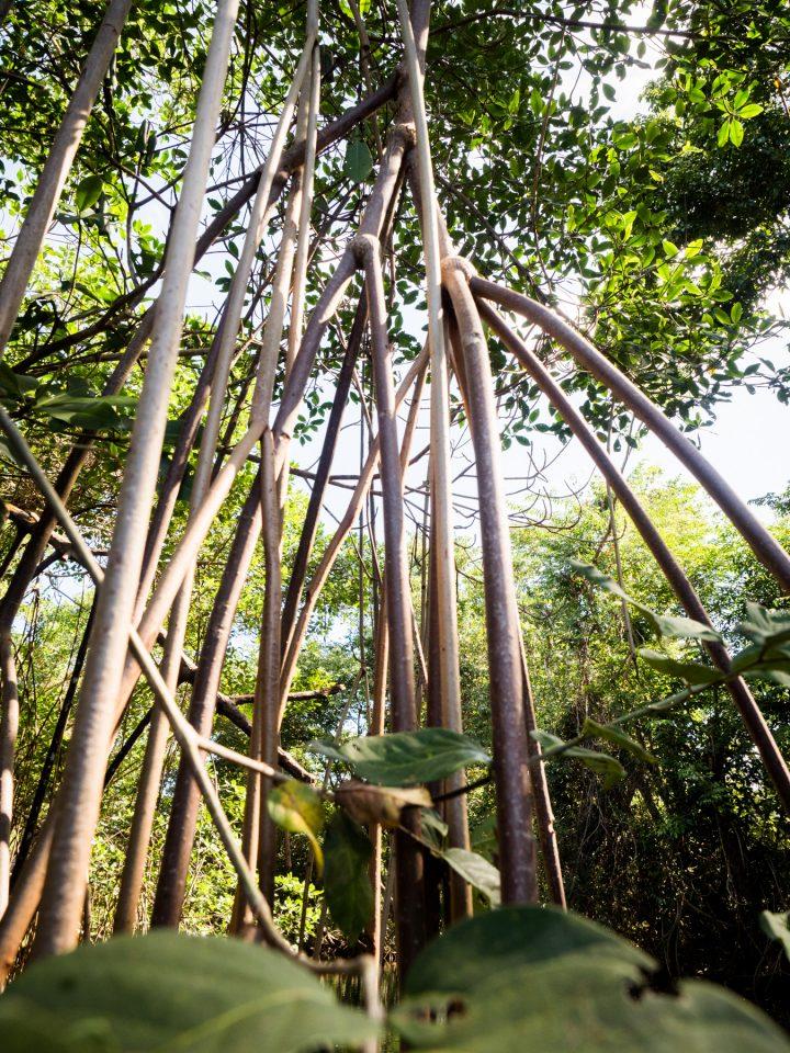 découverte de la mangrove guadeloupe en canoe kayak-mangrove palétuvier