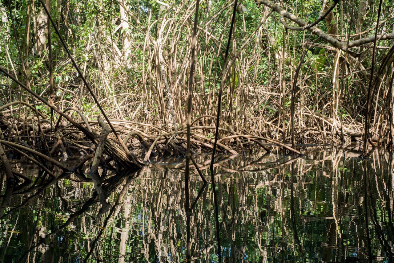 découverte de la mangrove guadeloupe en canoe kayak sous les palétuviers