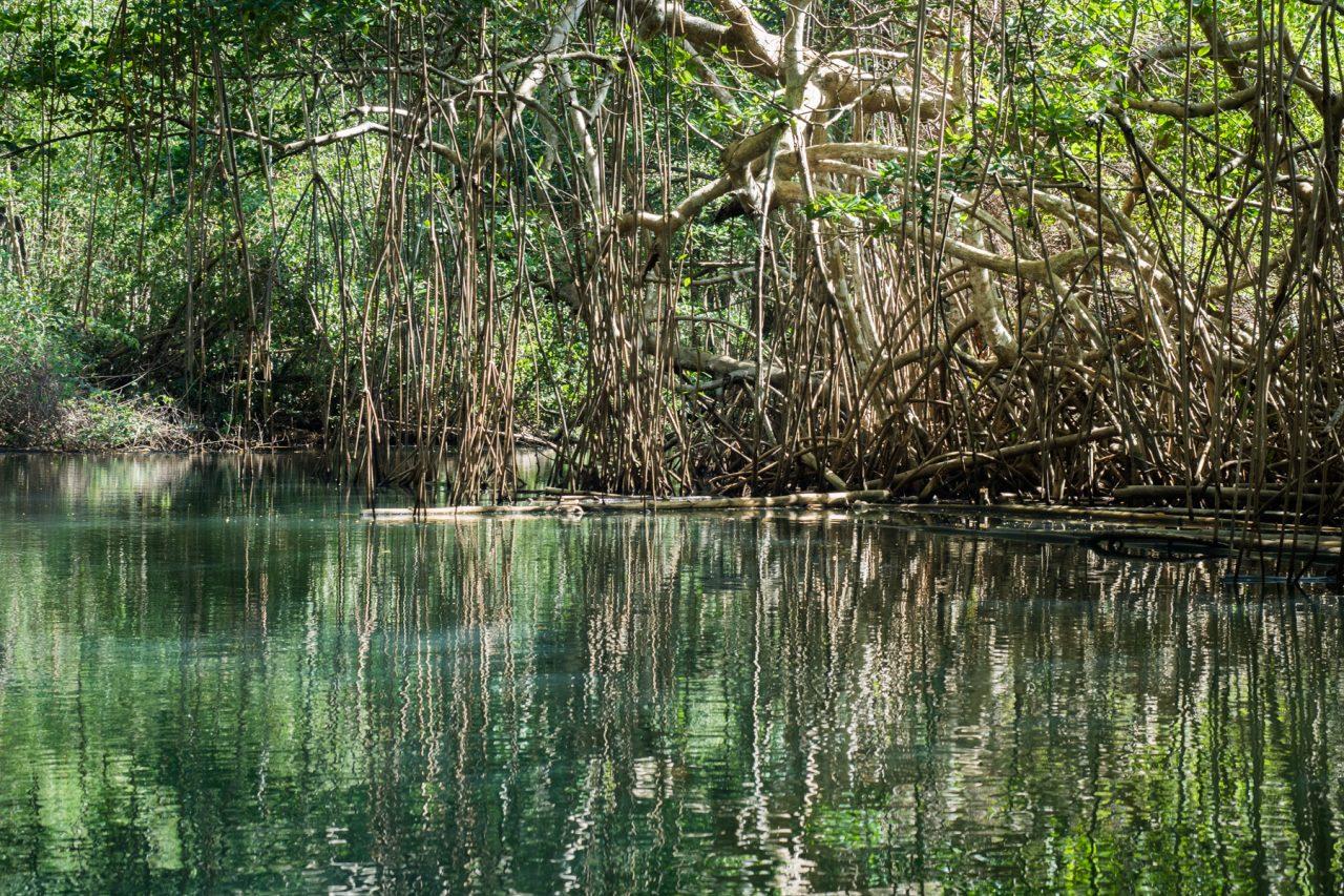 mangrove palétuvier-mangrove kayak guadeloupe