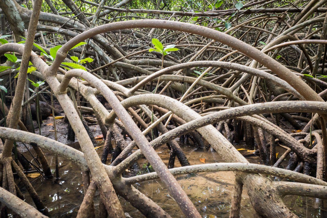 sous les palétuviers-les mangroves guadeloupe-canoe kayak mangrove guadeloupe