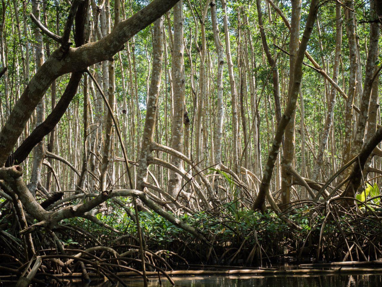 arbre palétuvier-guadeloupe mangrove visite-mangrove kayak guadeloupe