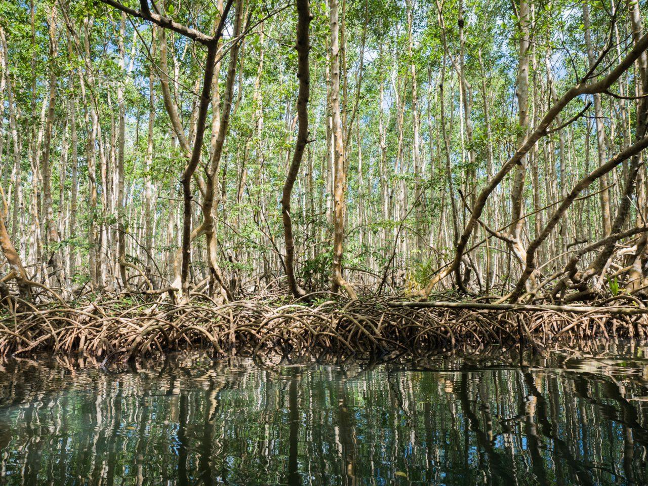 mangrove guadeloupe-canoe kayak mangrove guadeloupe-la saintoise mangrove guadeloupe - sous les palétuviers