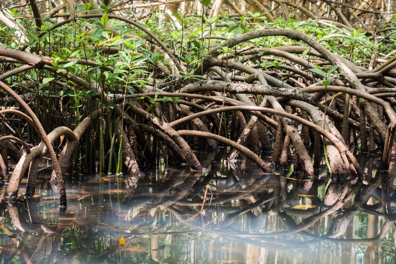 excursion mangrove sainte rose guadeloupe sous les palétuviers