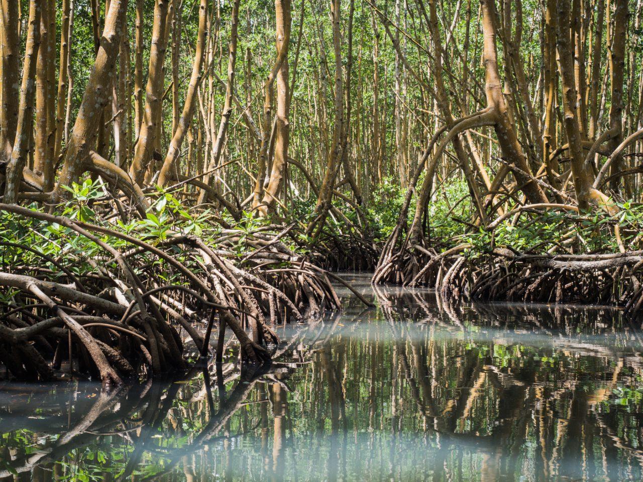 excursion mangrove guadeloupe- canoe kayak mangrove guadeloupe-mangrove palétuvier