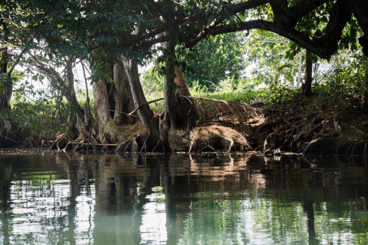 paddle guadeloupe mangrove-canoe guadeloupe mangrove - palétuvier rouge