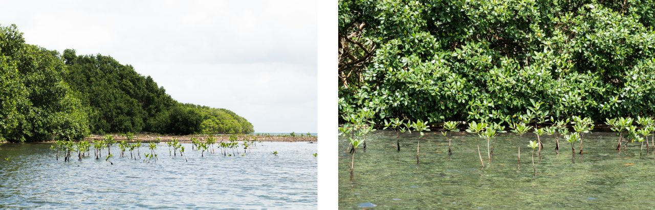 guadeloupe mangrove-kayak dans la mangrove guadeloupe