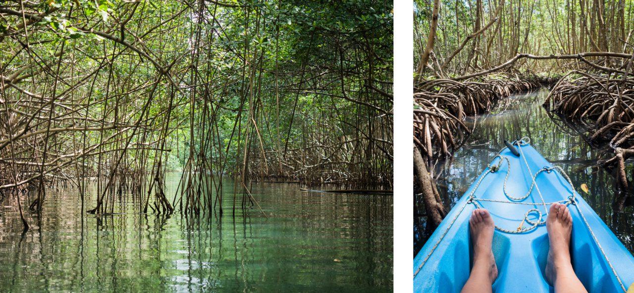 visite mangrove guadeloupe-kayak dans la mangrove guadeloupe