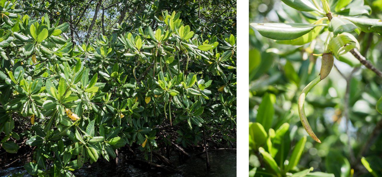 visite mangrove guadeloupe-canoe guadeloupe mangrove-palétuvier blanc