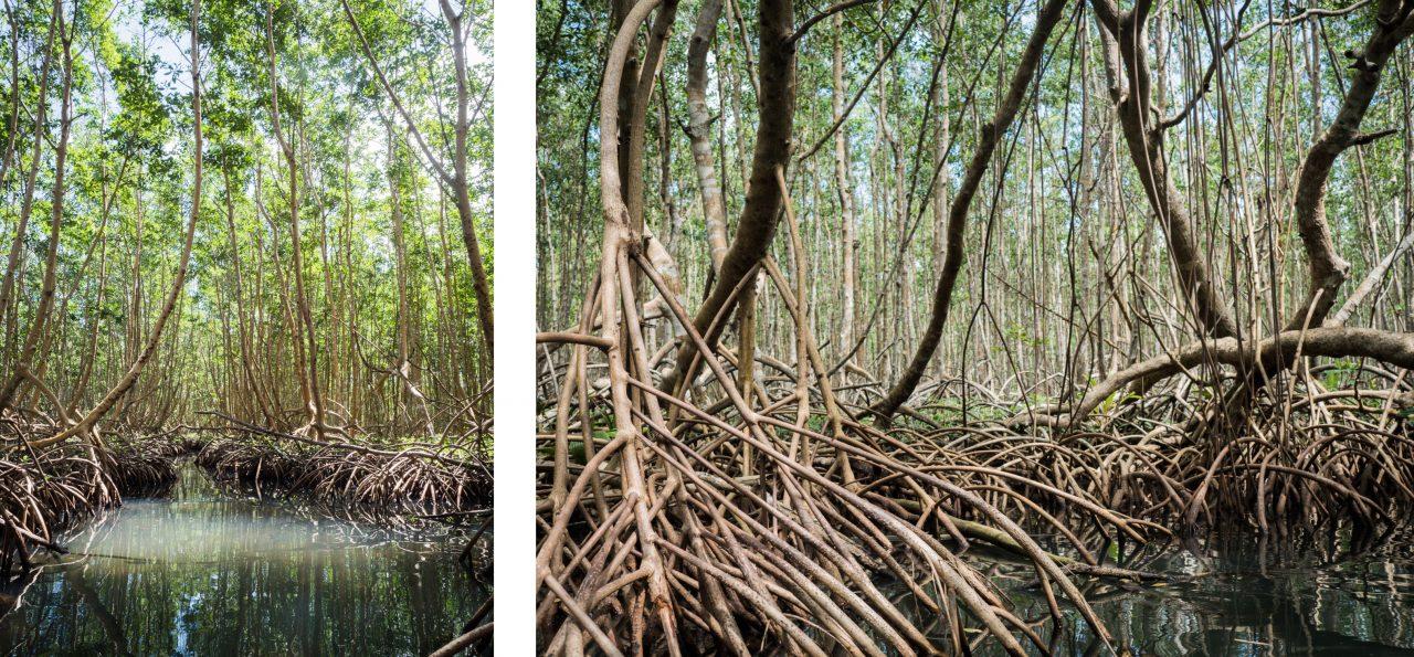 balade dans la mangrove guadeloupe en canoë kayak