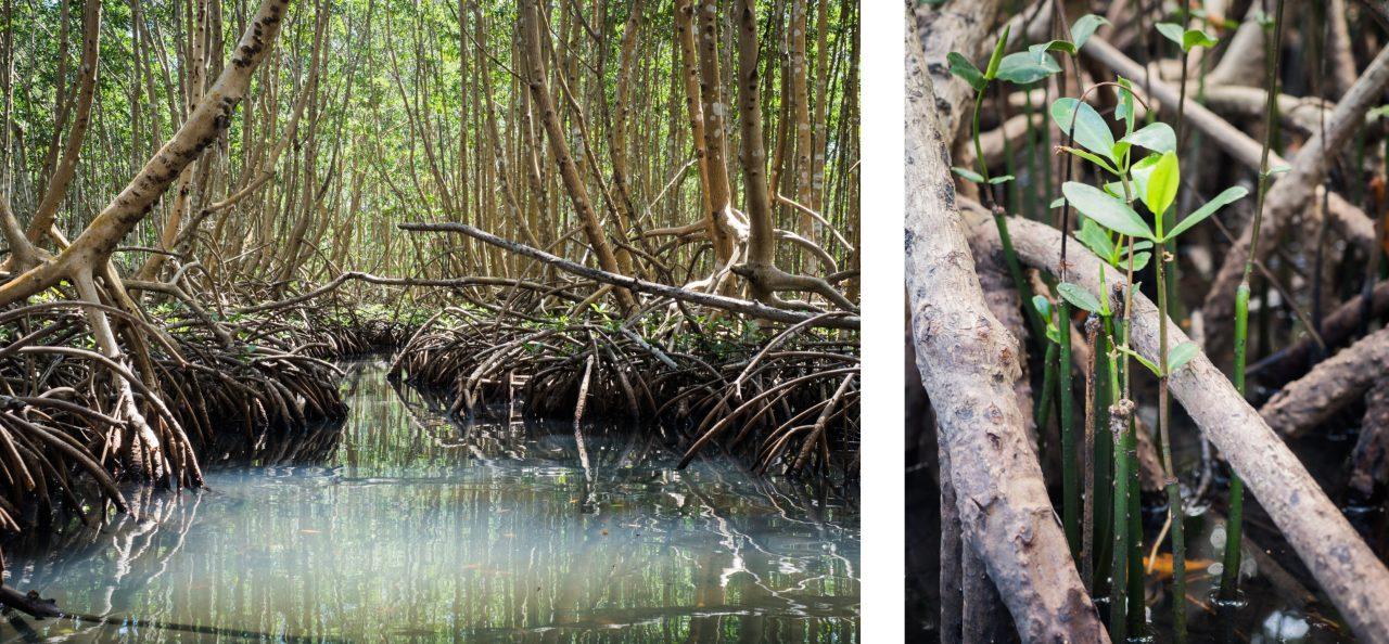 mangrove, palétuviers, guadeloupe, antilles, kayak