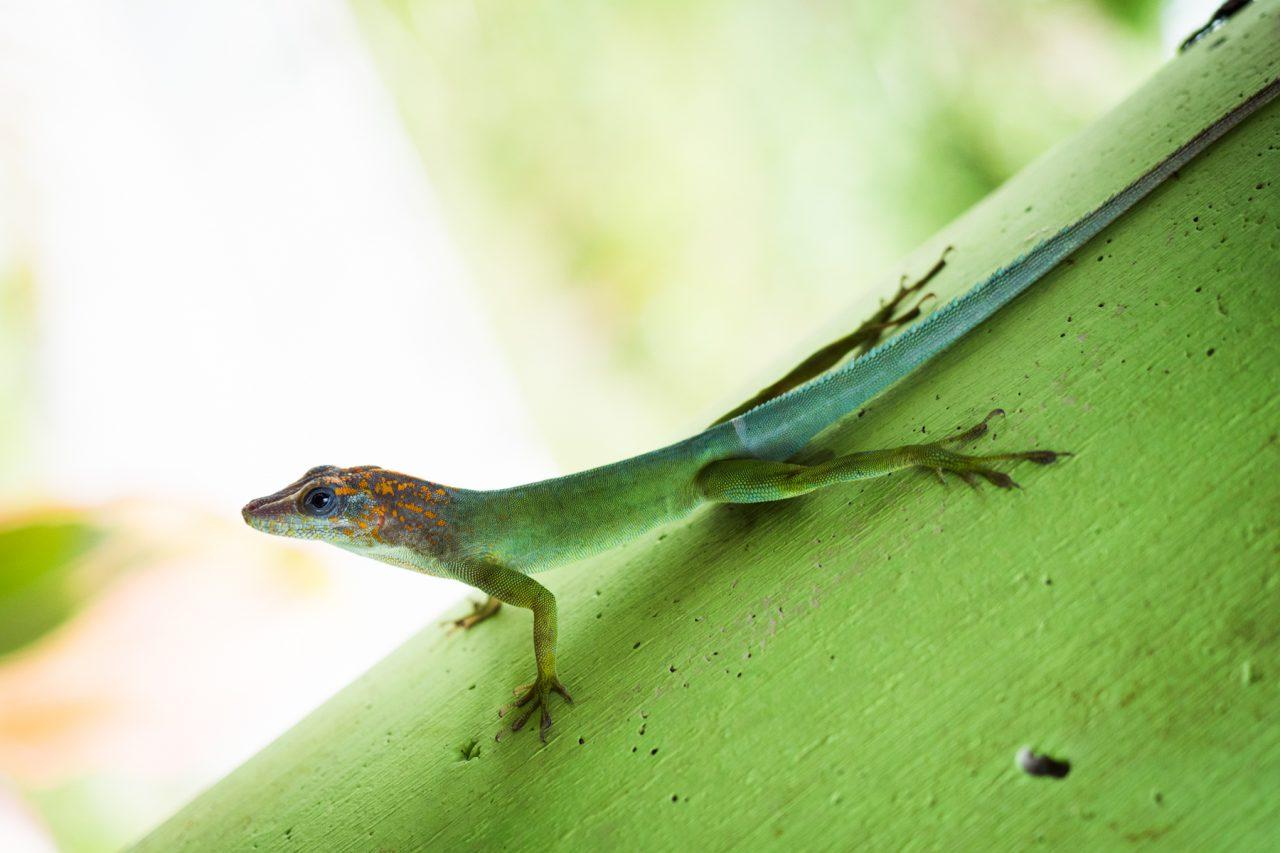 lezard guadeloupe-anoli guadeloupe-bassin paradise-guadeloupe foret tropicale