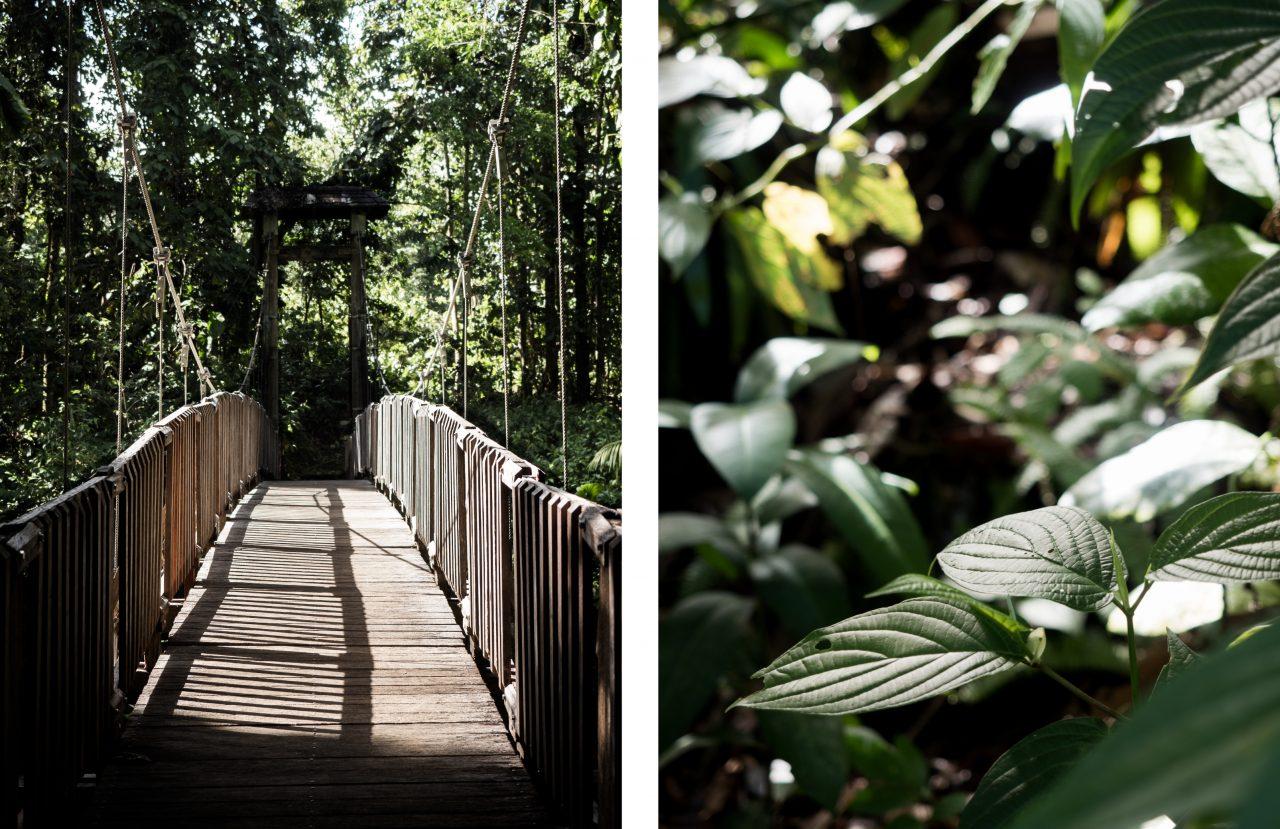 ballade foret tropicale de guadeloupe-basse terre-arbre guadeloupe-