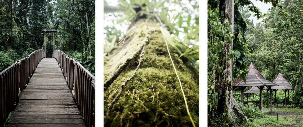 guadeloupe jungle-guadeloupe foret tropicale-arbre guadeloupe