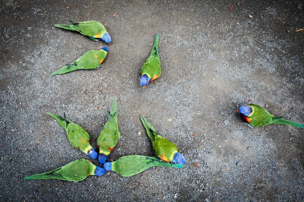 jardin botanique basse terre - perruches et perroquets guadeloupe-jardin botanique coluche guadeloupe