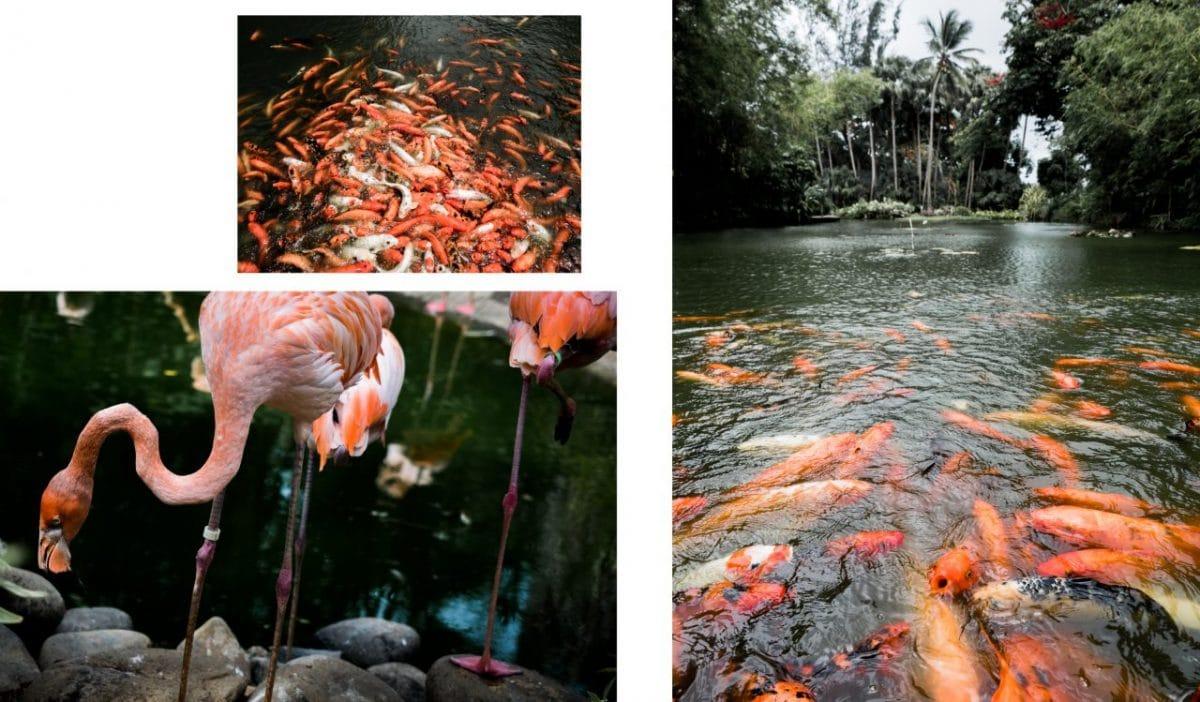 poisson rouge deshaies guadeloupe-flamants roses jardin botanique de deshaies