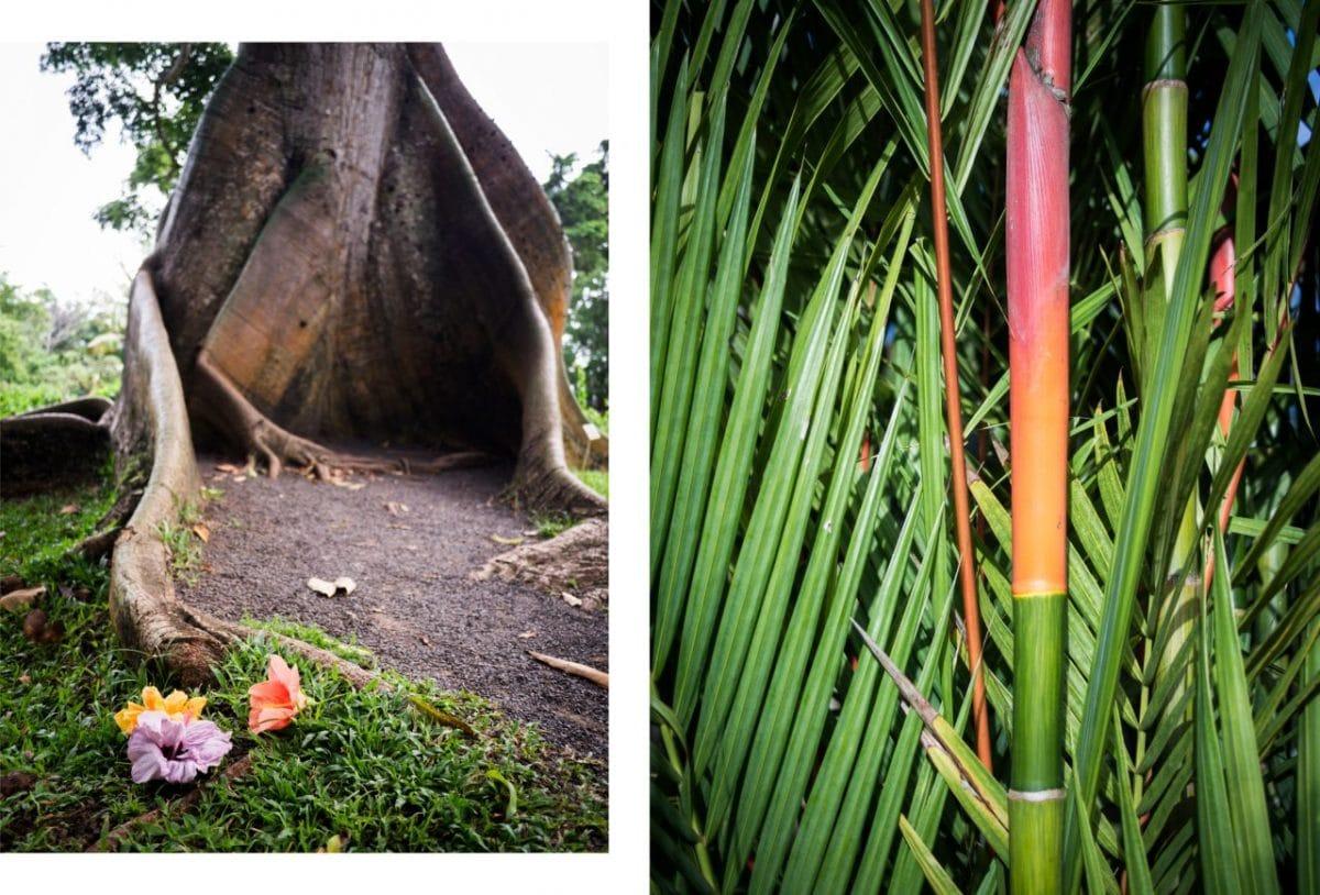 arbre baobab en guadeloupe-jardin botanique deshaies-fleur tropicale - bambou coloré