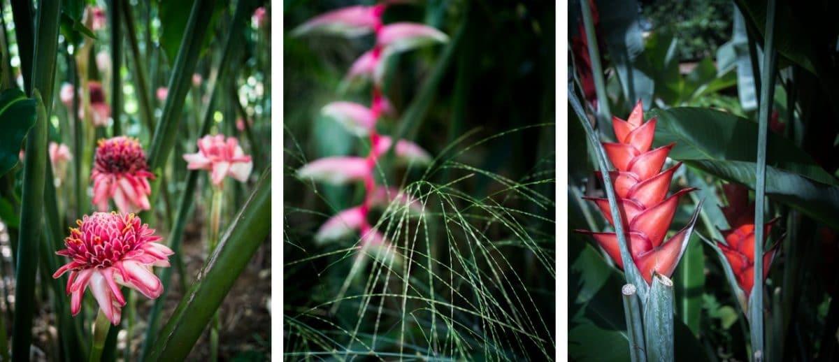jardin botanique de deshaies en guadeloupe-fleur tropicale guadeloupe