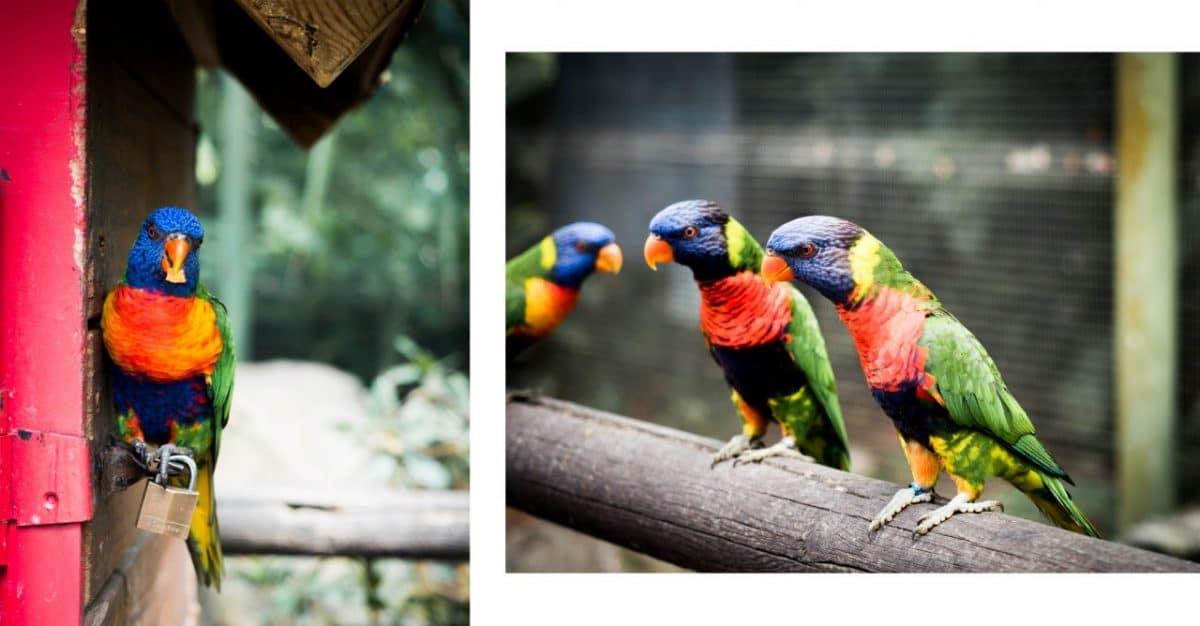 perroquet guadeloupe - jardin botanique de deshaies- perruche guadeloupe