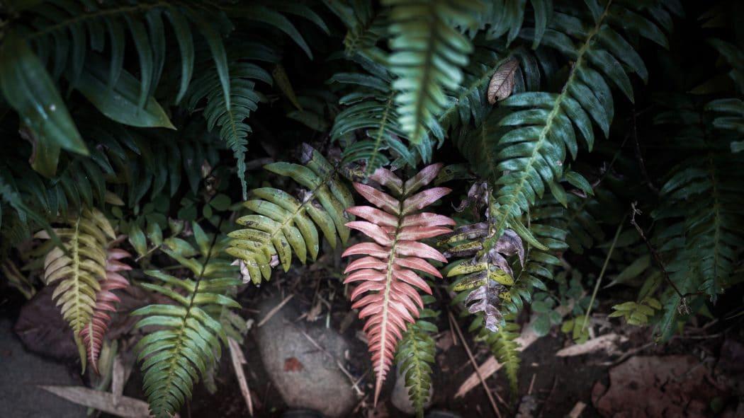 Guadeloupe nature et découverte - photo de fougère dans la forêt tropicale Guadeloupéenne
