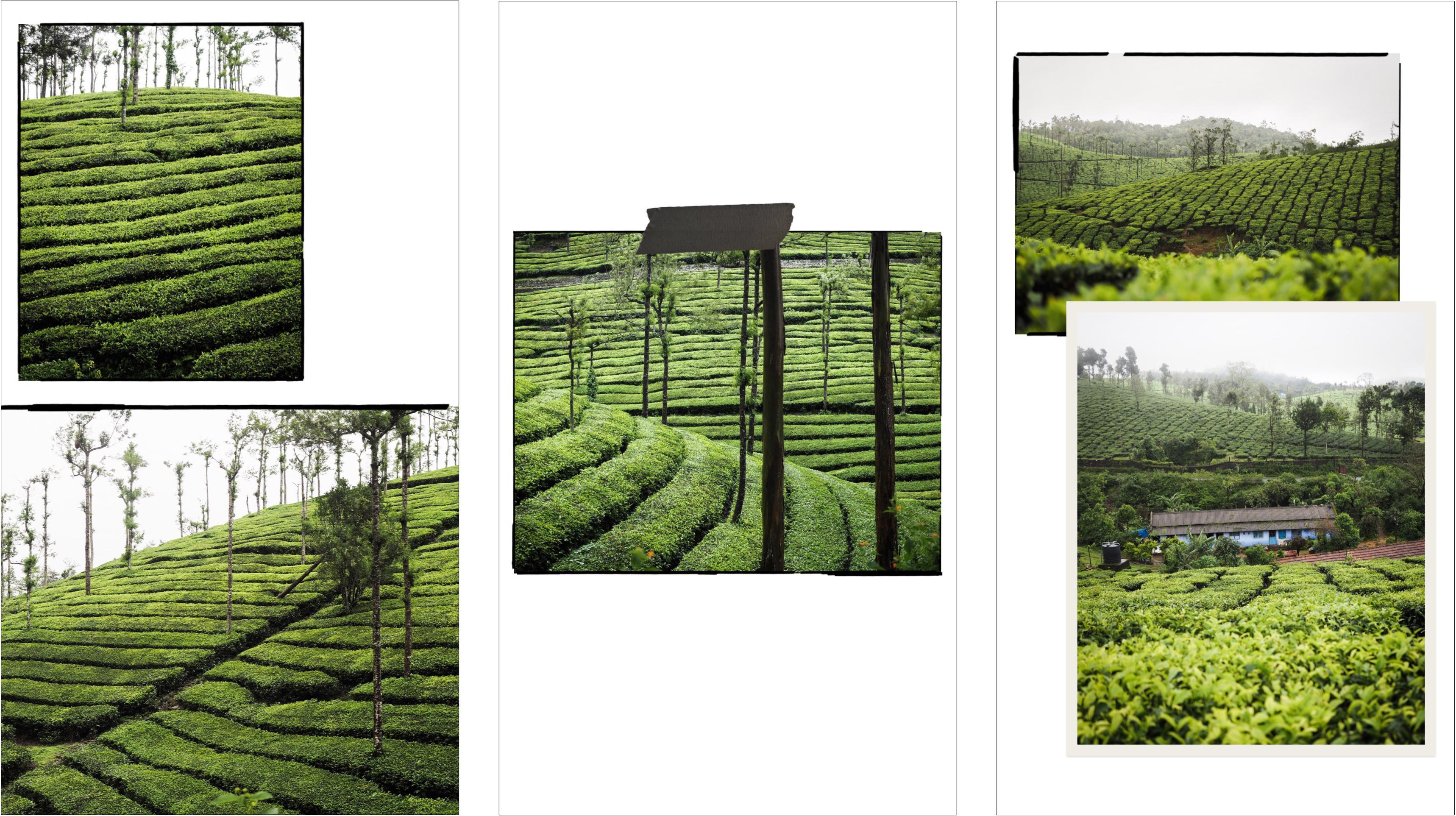 voyage au kerala - photos du kerala - découvrir l'inde - plantations de thé