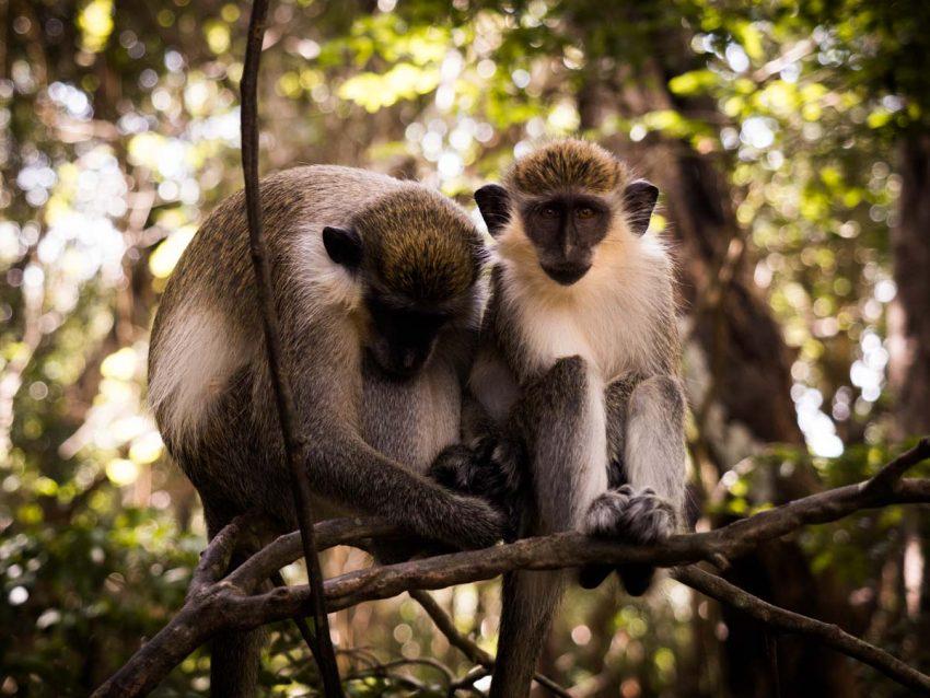 le singe vert - la barbade -wild life reserve