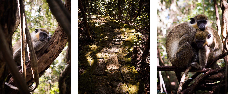 le singe vert de la barbade -wild life reserve